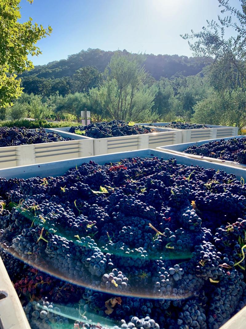 Mid-Sept Harvest - Bins of Syrah 2