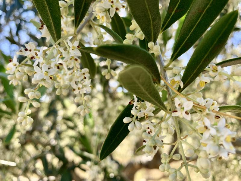 Olive flowering 2019