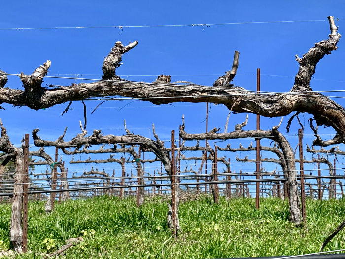 No budbreak in Mourvedre