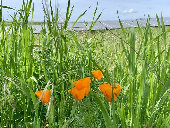 CA Poppies April 2019