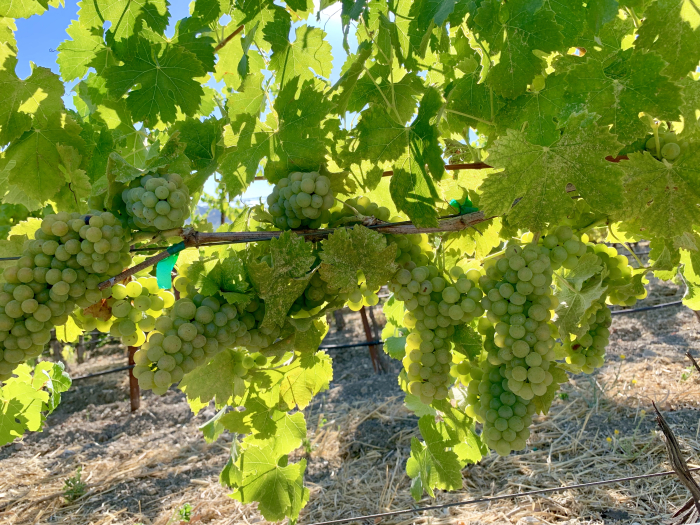 Viognier at Tablas Creek August 2019