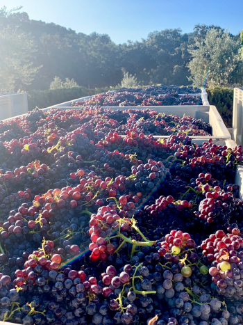 Mid-Sept Harvest - Bins of Grenache
