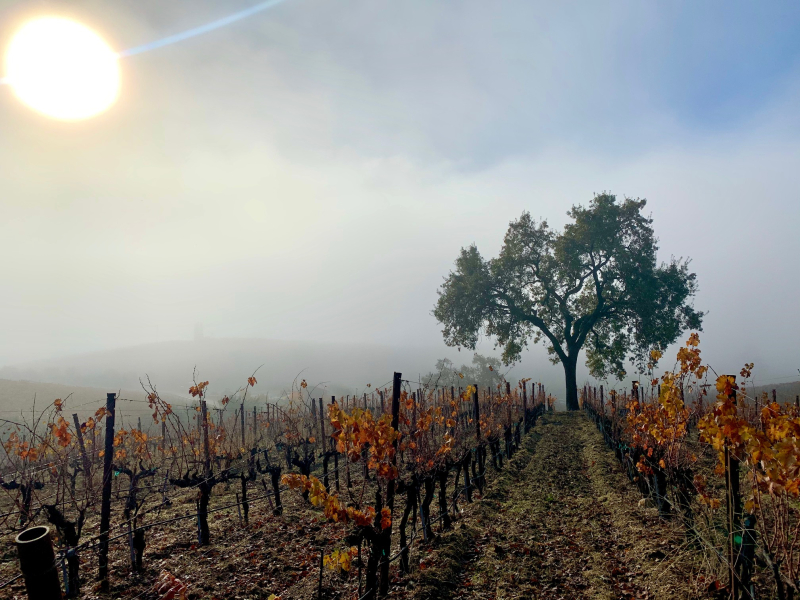 Oak tree in the vineyard with fog