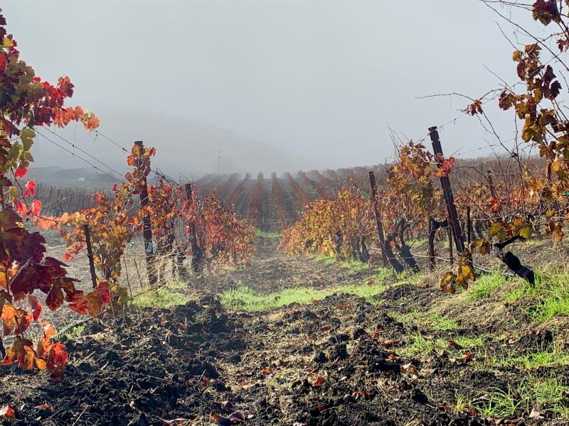 Green grass rolling vineyard