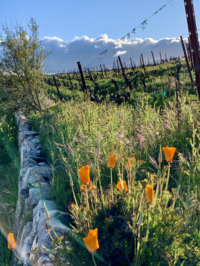 Poppies and Dormant Vines March 2020