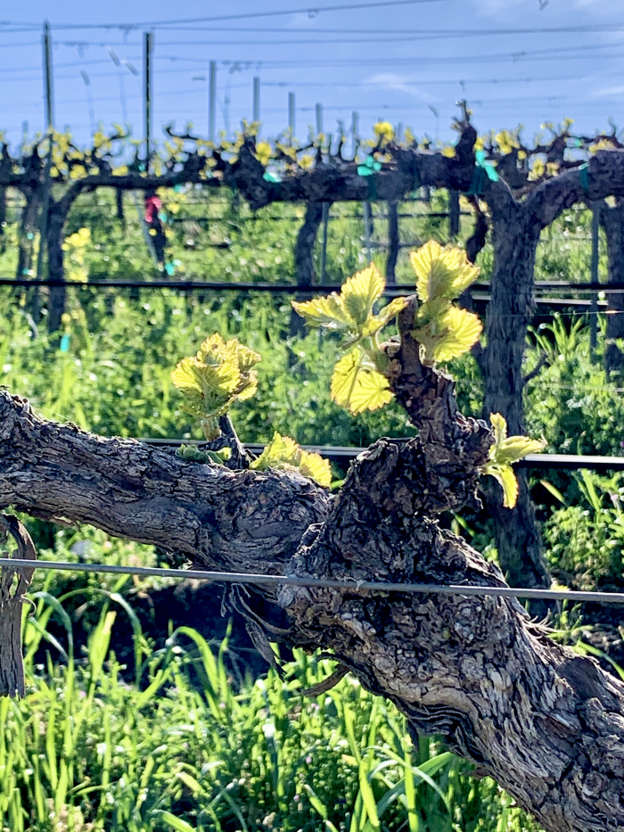 New Growth - Grenache
