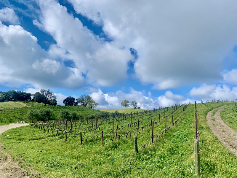 Looking up Grenache block with clouds