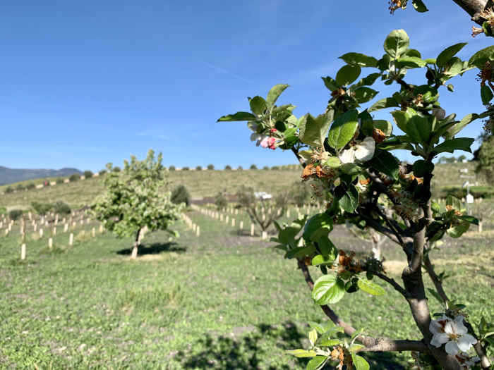 Fruit trees in bloom