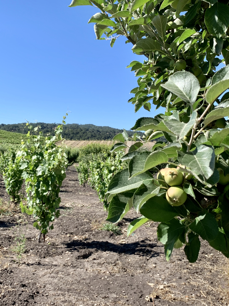 Apple and young vines
