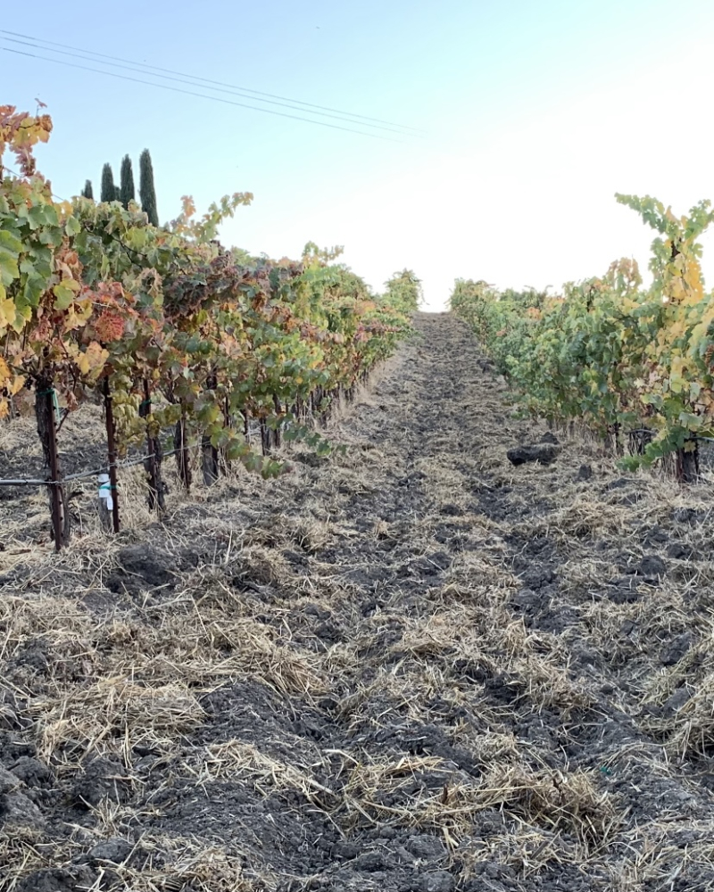 Syrah rows before frost cropped