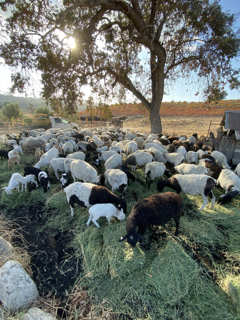 Biochar - Grazing sheep