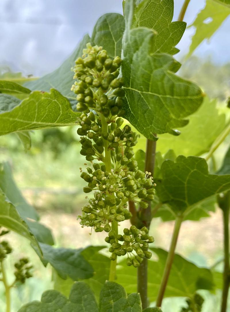 Viognier flowering 2020
