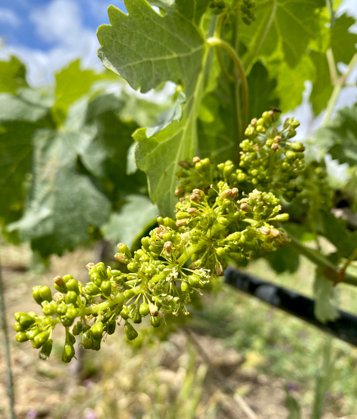 Viognier flowering 2020 2