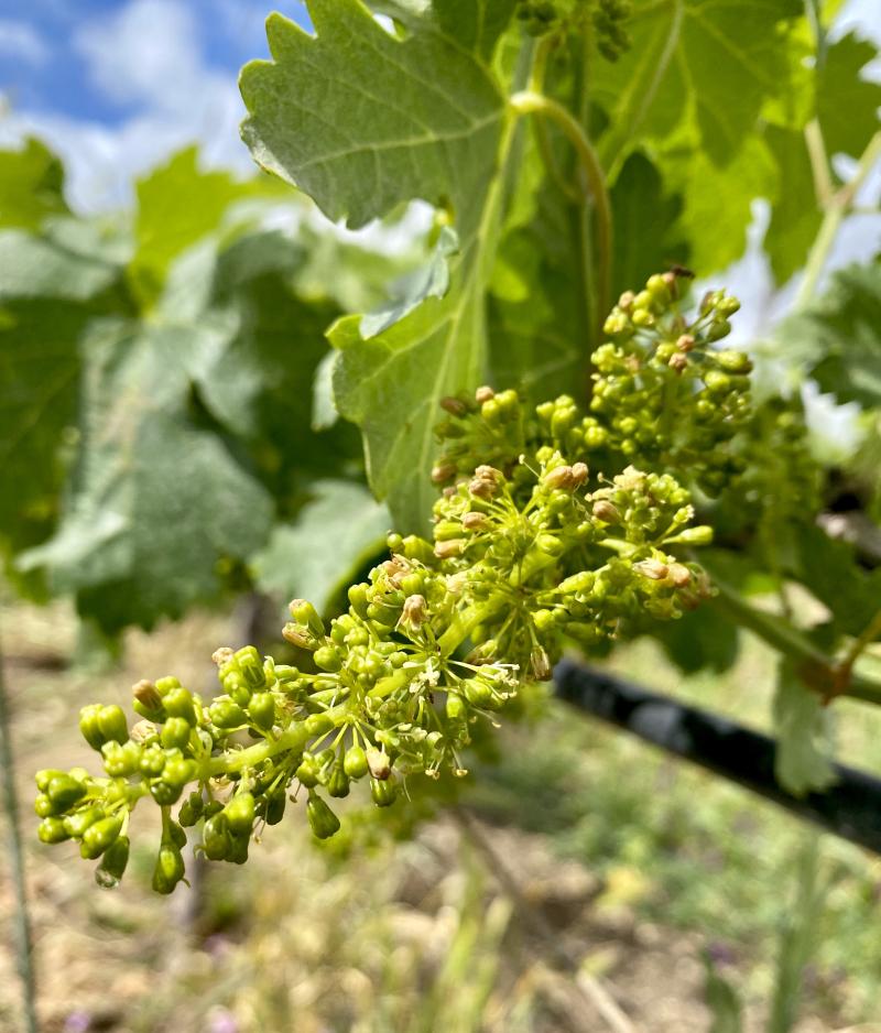 Viognier flowering 2020 2