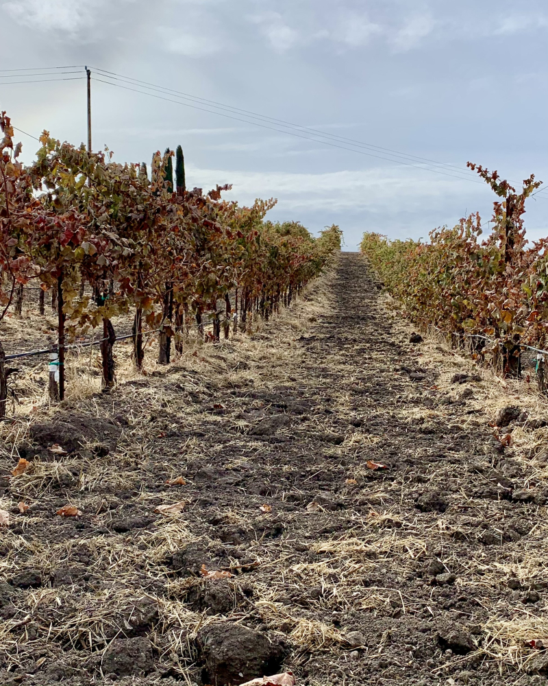 Syrah rows after frost cropped