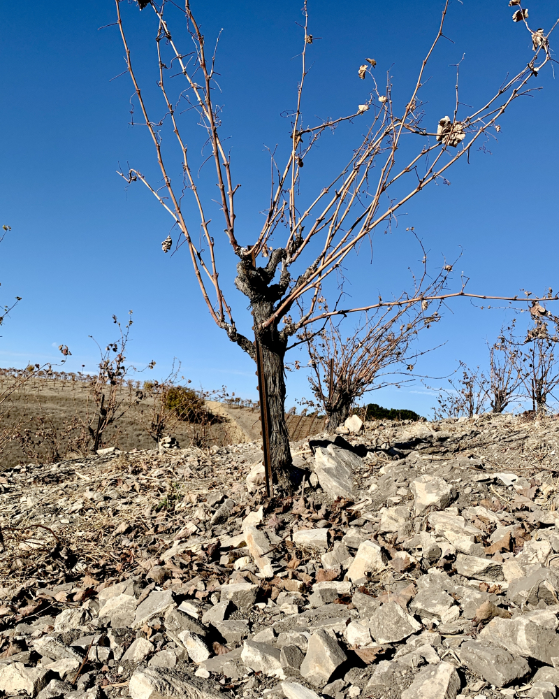 Head Trained Mourvedre Vine in Late Fall