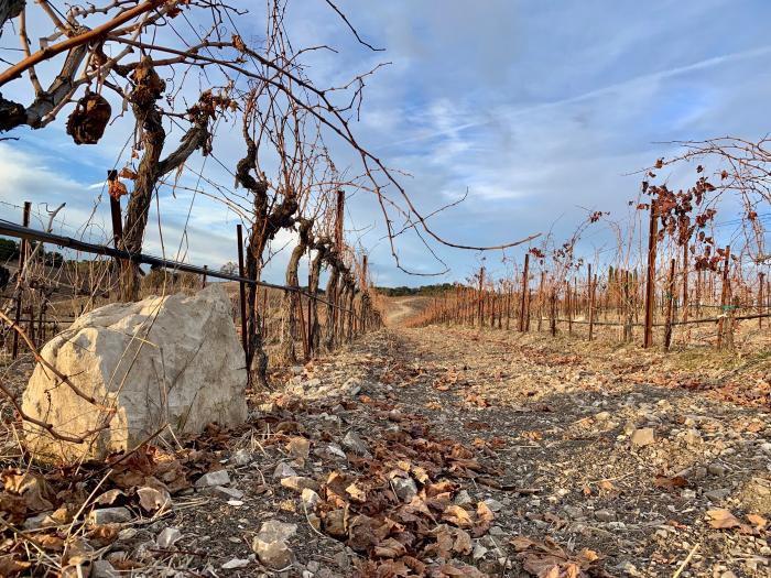 Unpruned Roussanne vines and limestone rock
