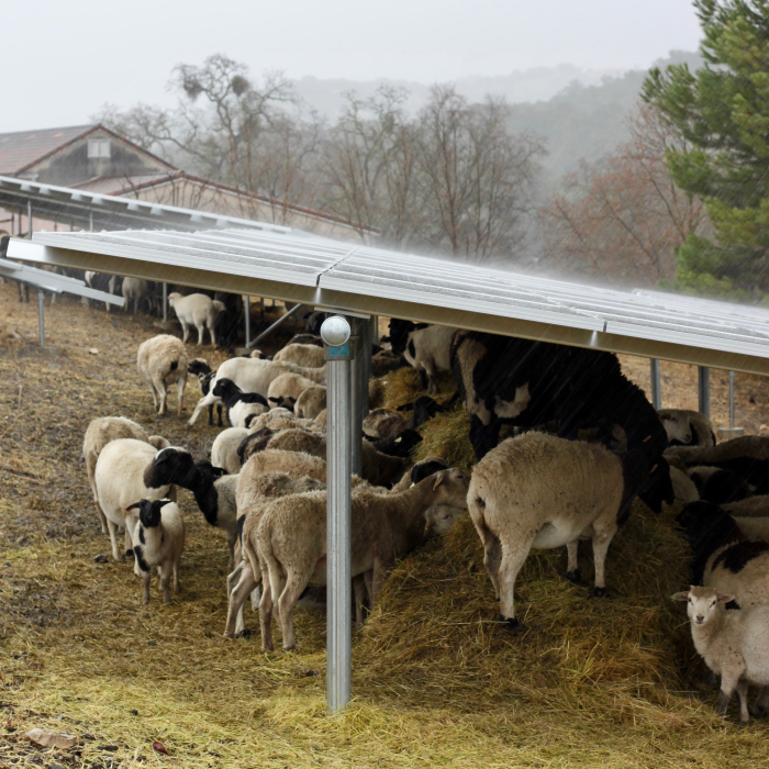 Sheep huddling under solar panels in storm