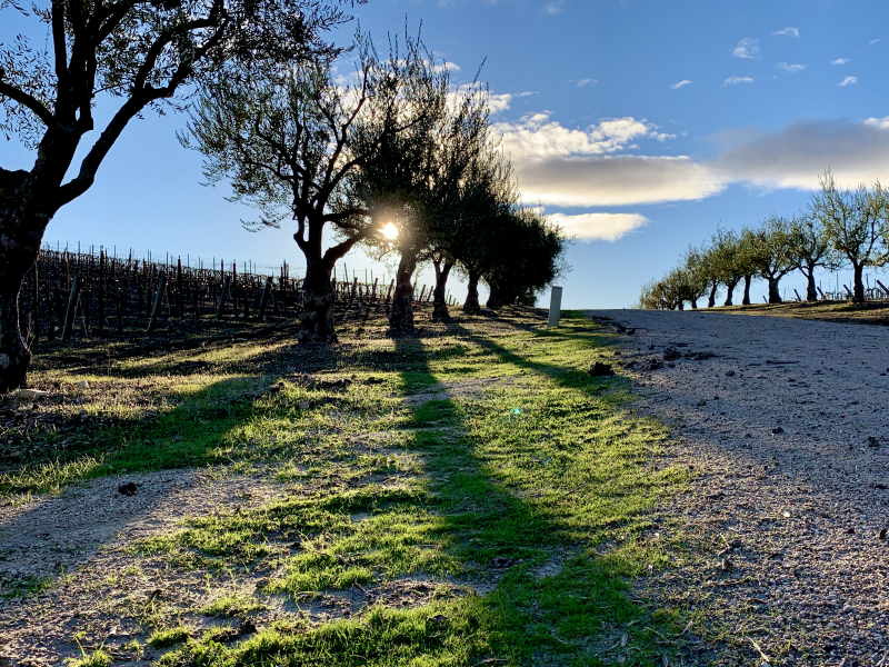 Sunset Olive Trees and New Green