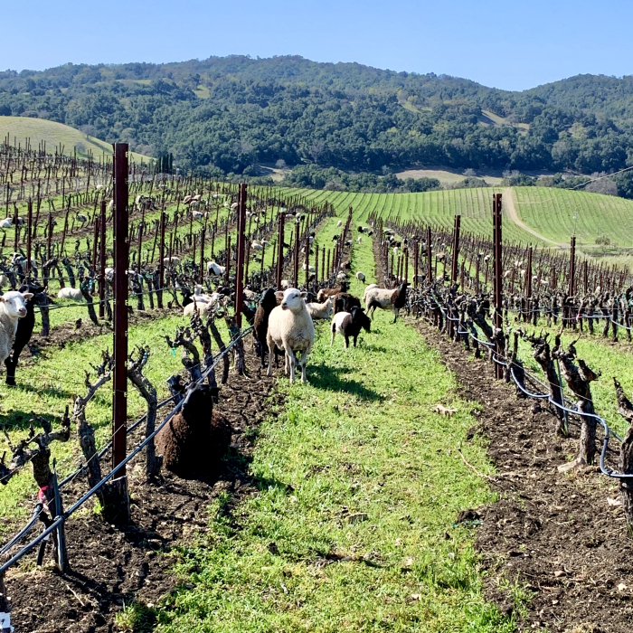 Sheep in Grenache March 2021