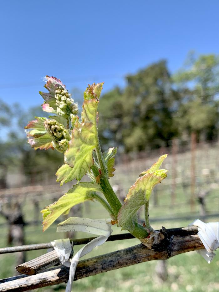 Budbreak 2021 - Viognier Flowerws