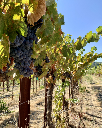 Mourvedre on the vine