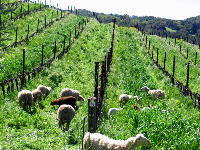 Losing the sheep in the cover crop - Roussanne block