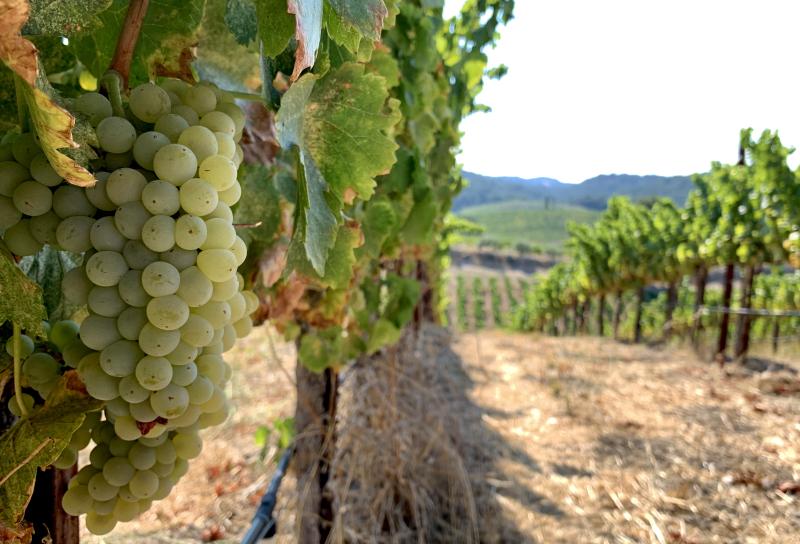Grenache Blanc pre-harvest 2020
