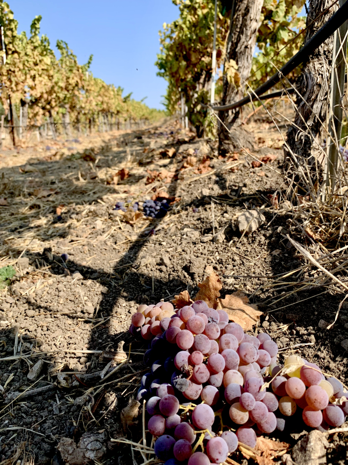 Grenache cluster on the ground