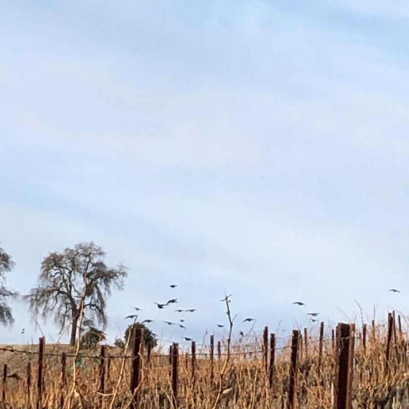 Eli - Birds over vines