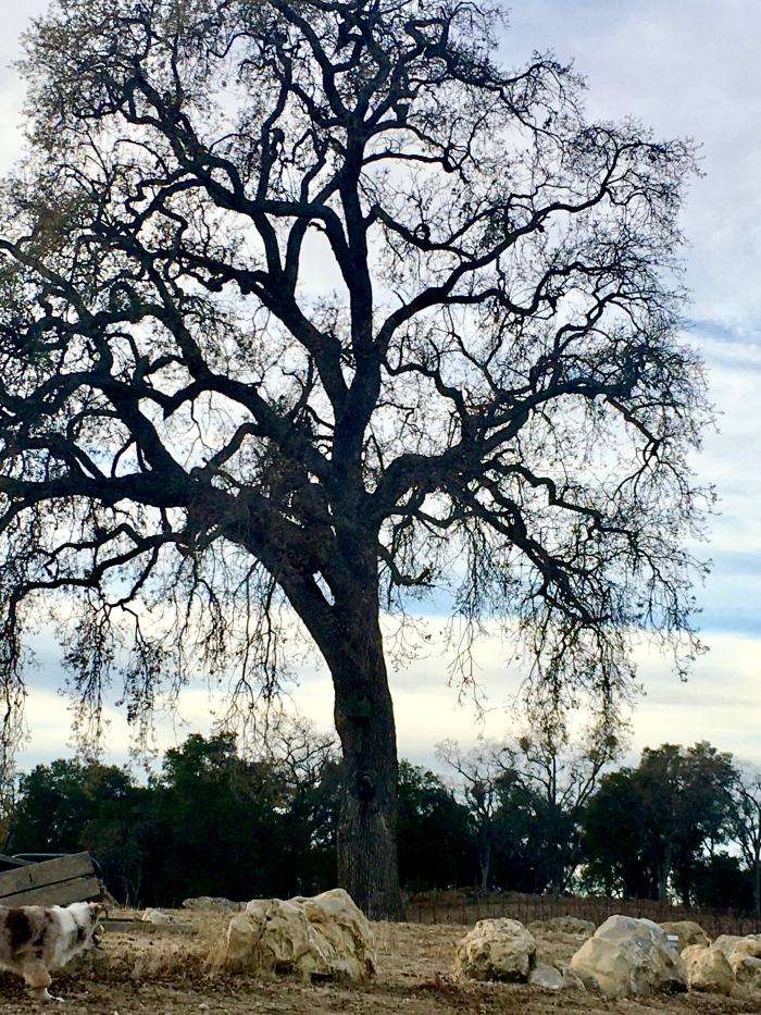 Seb - Oak tree and Sadie