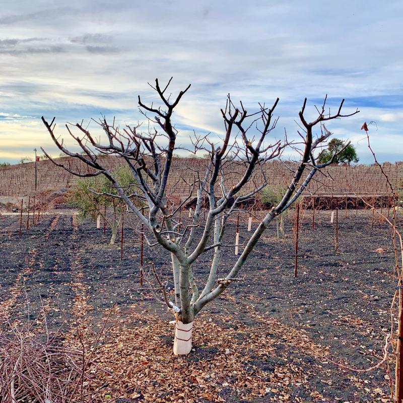 Newly pruned fruit tree