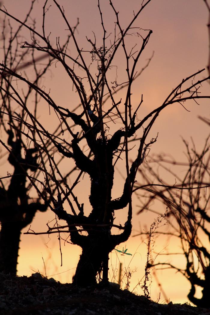 Grenache vine on Scruffy Hill at Sunset
