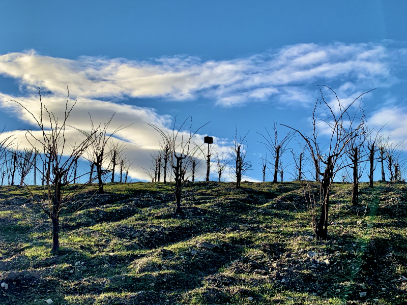 Head trained vines with yeomans plow lines