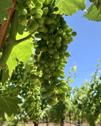 Syrah clusters