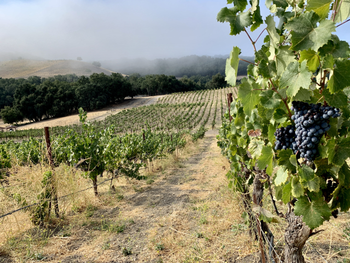 Long View of Mourvedre on Nipple Flat in Harvest Fog