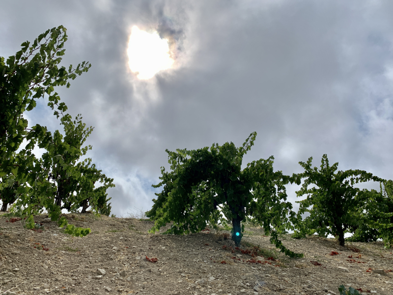 Looking up at Grenache in the Fog on Scruffy Hill