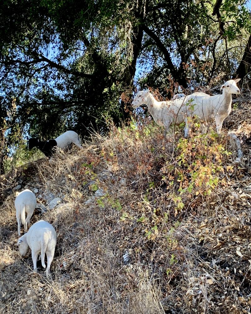 Sheep grazing on poison oak