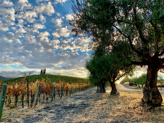 View between Mourvedre and olive trees