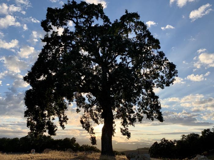Looking west through oak tree