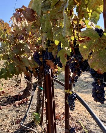 Tannat on the Vine 2021