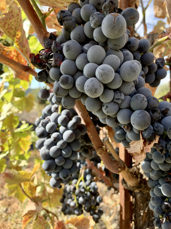 Mourvedre clusters