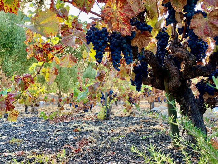 Last of head-trained Mourvedre on the vine