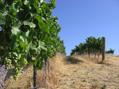 Vineyard_july08_0004