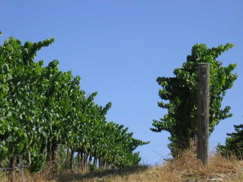 Vineyard_july08_0011