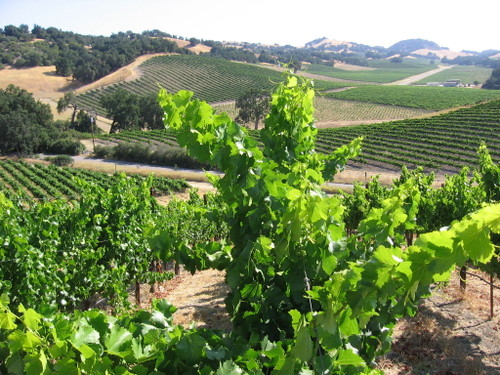 Vineyard_july08_0014