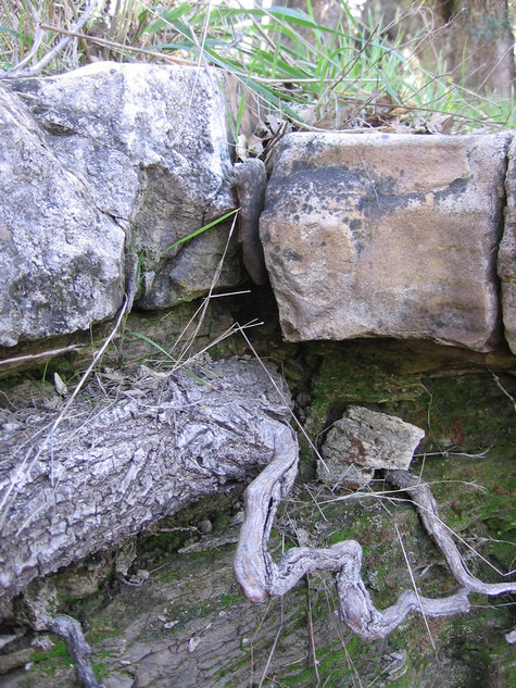Root_under_limestone_closeup