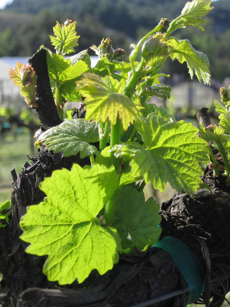 Sprouting_chardonnay