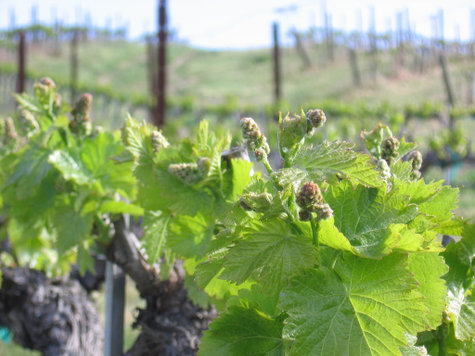 Sprouting_grenache