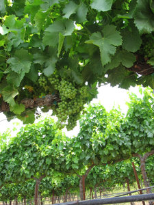 Fruit_set_grenache_blanc